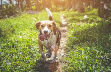 Beagle che corre