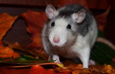 Topo in autunno