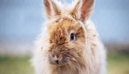 L'evoluzione del coniglio