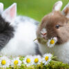Coniglio e microbiota